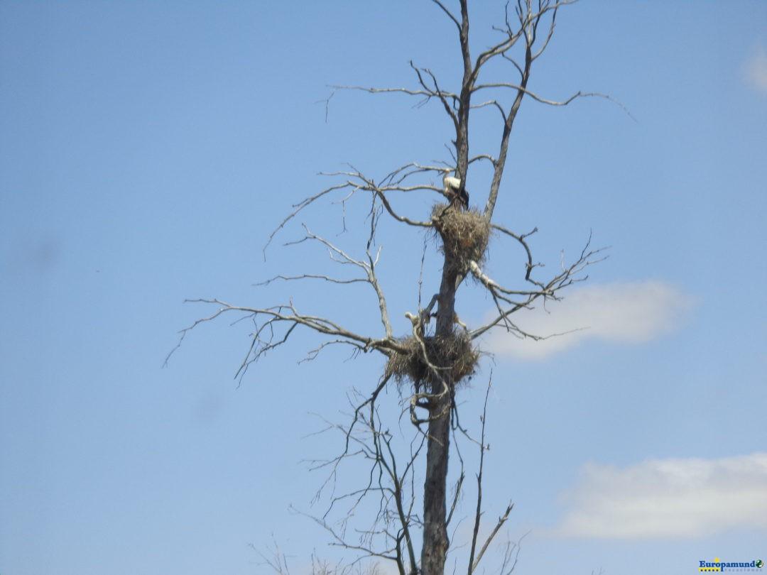 Segundo ninho de Cegonhas